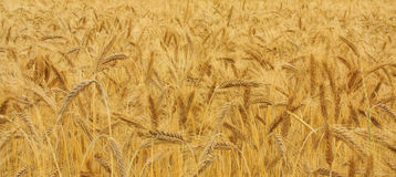 Gold corn. Fields of the cereal stock images