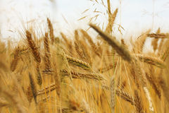 Gold corn. Fields of the cereal royalty free stock photos