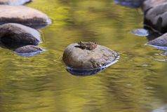 The Gold Creek. At the height of summer all the lakes are filled with large and small frogs. They warmed on hot stones, overcome rapid streams, relax and enjoy Stock Photo