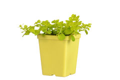 Gold creeping jenny in yellow pot Royalty Free Stock Image