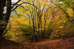Gold Crimea. Beech forest. Stock Images
