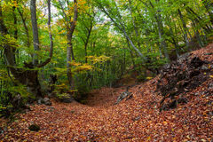 Gold Crimea.  Beech forest. Royalty Free Stock Images