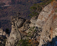 Gold Crimea. Dry Crimean pine. Stock Photos