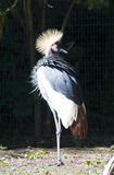 Gold crowned crane Stock Image