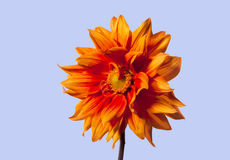 Gold dahlia flower. Isolated against blue sky Stock Photos