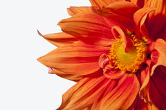 Gold dahlia flower macro Stock Images