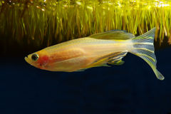 Gold danio Stock Photo