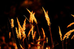Gold in the dark - grass spikes. Grass spikes in october warm sunset Stock Images