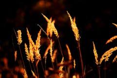 Gold in der Dunkelheit - Grasspitzen Stockbilder