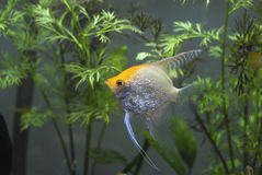 Gold Diamond (Pearlscale) Angelfish Stock Photo