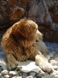 Gold dog on the beach. Golden Retriever relaxing on the pebble beach Stock Images