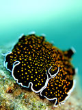 Gold dotted flatworm Stock Photography