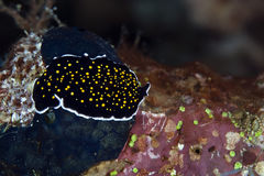Gold-dotted flatworm in the Red Sea. Stock Images