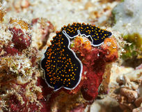 Gold dotted flatworm Stock Photos
