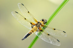 Gold dragonfly Stock Photo