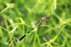 Gold dragonfly Royalty Free Stock Photo