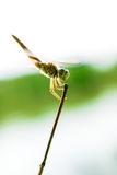 Gold Dragonfly Stock Photos