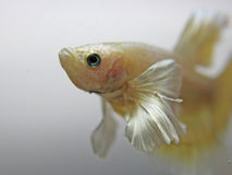Gold Dumbo Betta Fish lizenzfreie stockfotografie
