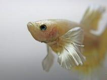 Gold Dumbo Betta Fish Royalty Free Stock Photography