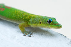 Gold Dust Day Gecko. Macro image of a Gold Dust Day Gecko which originate from Madagascar but are common in Hawaii Stock Photo