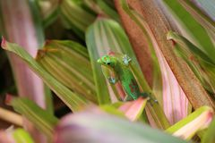 Gold dust day gecko on Bromeliad plant. Hawaii Royalty Free Stock Image