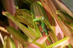 Gold dust day gecko on Bromeliad plant. Hawaii Royalty Free Stock Photo