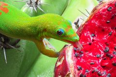 Gold dust day gecko licking the juicy red fruit of a green cactus at Moir Gardens, Kauai, Hawaii stock image