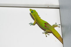 Gold dust day gecko while looking at you. Green red and blue Gold dust day gecko from hawaii Royalty Free Stock Photos