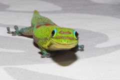 Gold dust day gecko while looking at you Royalty Free Stock Photography