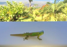 Gold dust day gecko while looking at you Royalty Free Stock Image
