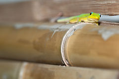 Gold dust day gecko while looking at you Royalty Free Stock Photo