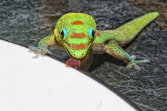 Gold dust day gecko while looking at you Stock Photography