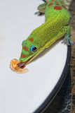 Gold dust day gecko while looking at you Royalty Free Stock Images
