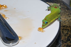 Gold dust day gecko while looking at you Stock Image