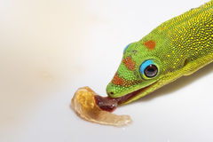 Gold dust day gecko while looking at you Stock Photos