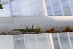 Gold Dust Day Gecko - Phelsuma Laticauda. `Gold Dust Day Gecko` or Broad Tailed Day Gecko in St. Gallen, Switzerland. Its scientific name is Phelsuma Laticauda Stock Photo