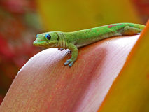 Gold Dust Day Gecko Royalty Free Stock Image
