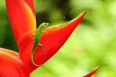 Gold dust day gecko Royalty Free Stock Photo