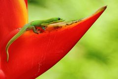 Gold dust day gecko Stock Images