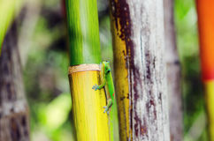 Gold Dust Day Gecko on Rainbow Bamboo Stock Photo