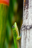 Gold Dust Day Gecko on Rainbow Bamboo Royalty Free Stock Photos
