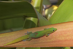 Gold Dust Day Gecko Stock Photos