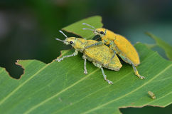 Gold dust weevils. Mating close up shot Stock Photography
