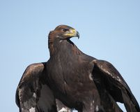 Gold eagle. Wild mongolian golg eagle Royalty Free Stock Images