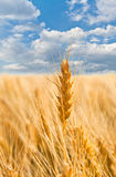 Gold Ears Of Wheat Under Sky Royalty Free Stock Photography