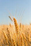 Gold Ears Of Wheat Under Sky Royalty Free Stock Image