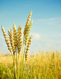 Gold ears of wheat Stock Photos