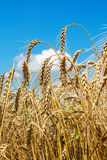 Gold ears of wheat Stock Photo
