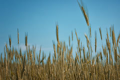 Gold ears of wheat against the blue sky and clouds soft focus, closeup, agriculture background. Stock Photography