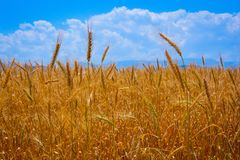 Gold ears of wheat Royalty Free Stock Photo